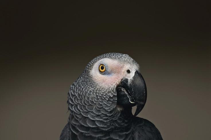 ALEX the parrot