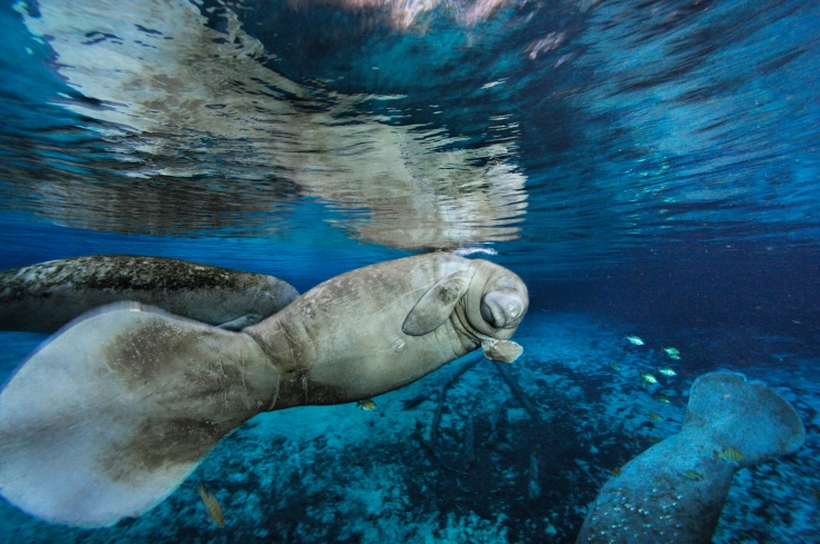 manatee-cr-brian-skerry-1