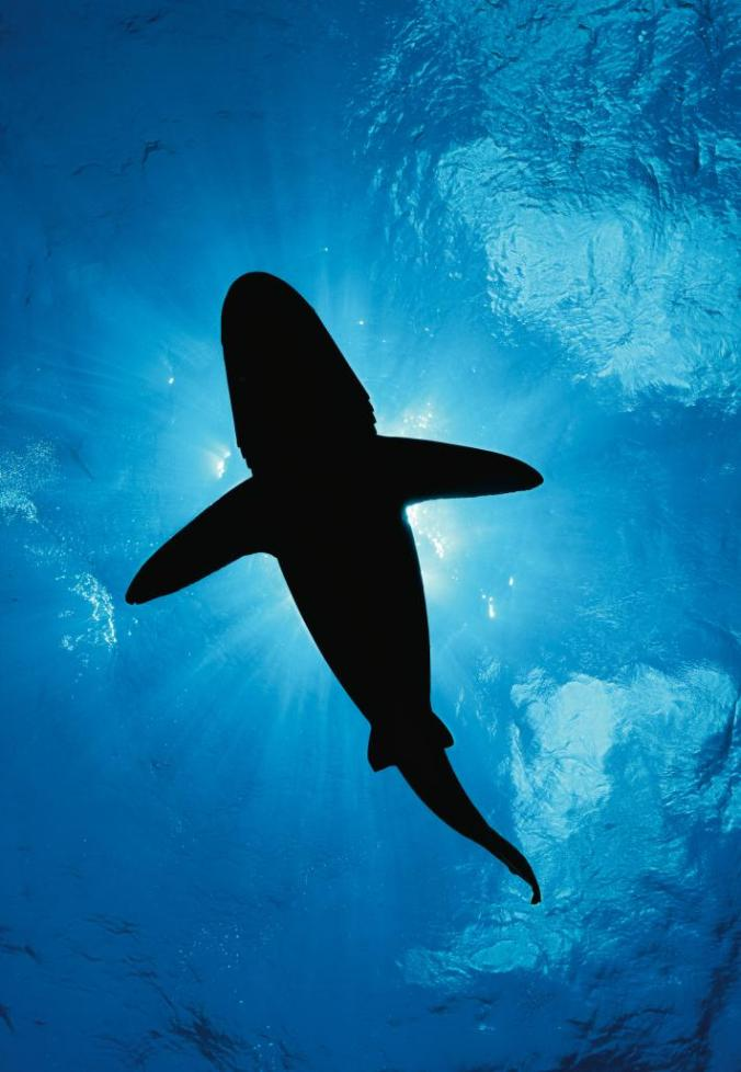 whitetip-shark-silhouette-v2-adapt-710-1