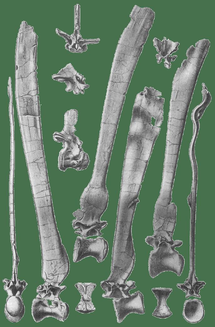 spinosaurus_vertebrae